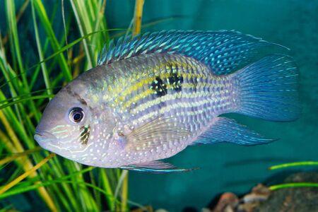 Blue acara (Andinoacara pulcher) in a planted aquarium