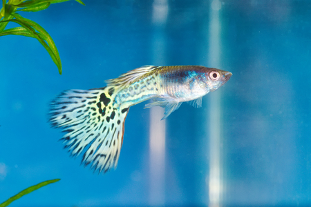 Guppy (Poecilia reticulata) in a aquarium with blue background