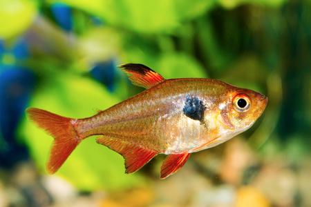 hyphessobrycon: Tetra fish (Hyphessobrycon) in a nice aquarium
