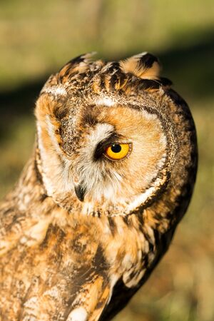 background: Portrait of Eagle owl (Bubo bubo) with blurred background