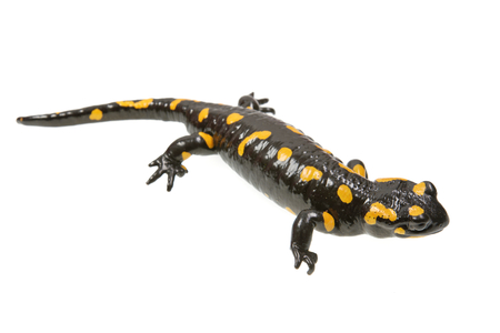 Salamandra (Salamandra salamandra) aislado en un fondo blanco. Foto de archivo