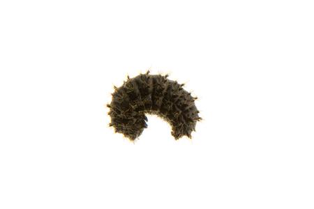 Larva of Galeruca tanaceti isolated on a white background
