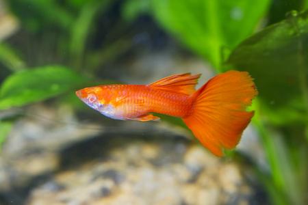 Portrait of aquarium fish - guppy (Poecilia reticulata) in a aquarium Stock Photo