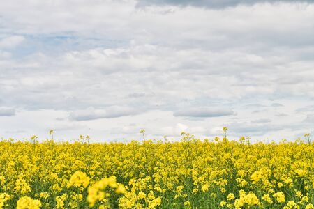 Field with rape and blue sky with clouds - plant for green energy 스톡 콘텐츠