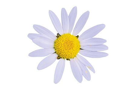 Daisy flower isolated on a white background 스톡 콘텐츠