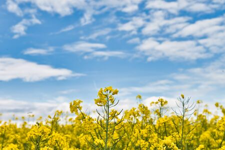 Detail of flowering rapeseed canola or colza, plant for green energy and oil industry, rape seed on blue sky background 스톡 콘텐츠