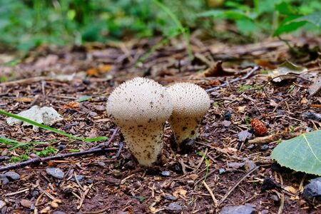 Mushroom Lycoperdon perlatum growing in the forest