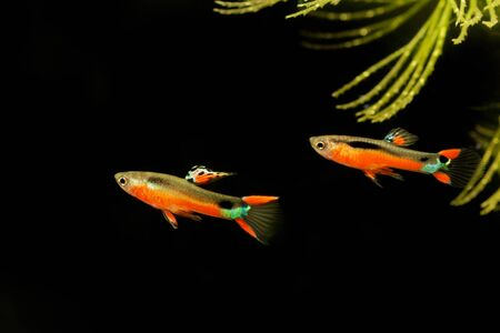 Guppy, Poecilia wingei Sata Maria isolated on a black background 스톡 콘텐츠