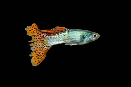 Guppy, Poecilia reticulata White Snow isolated on a black background