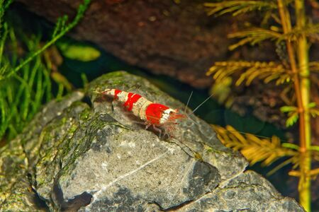 Red crystal shrimp (Caridina cantonensis) in freshwater aquarium