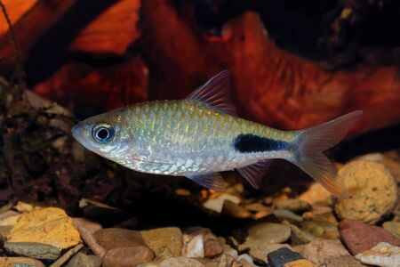 Cyprinid fish Enteromius rohani in a freshwater aquarium