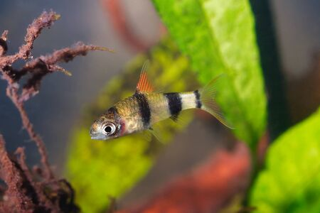 Young cyprinid fish Enteromius rohani in a freshwater aquarium 스톡 콘텐츠