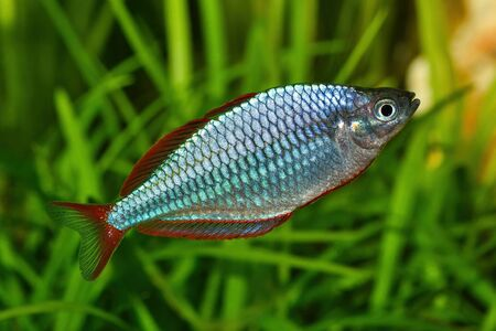 Dwarf rainbowfish Melanotaenia praecox in a freshwater aquarium