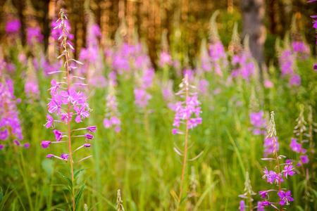 angustifolium: Pink flowers of fireweed (Epilobium or Chamerion angustifolium) in the meadow. Ivan-tea.