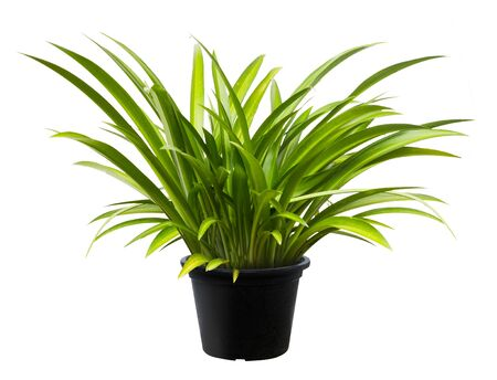 Crinum asiaticum, Green leaf tree plant fresh nature, white background 免版税图像