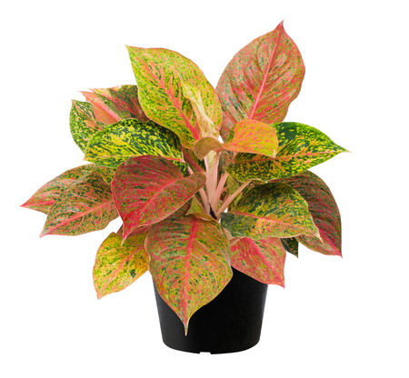 Aglaonema, Green leaf tree plant fresh nature, white background