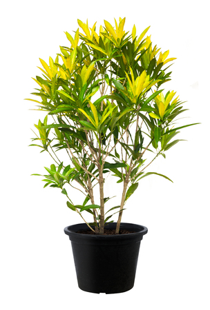 Croton, Green leaf tree plant fresh nature, white background