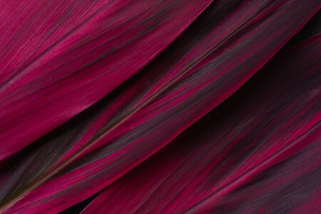 Red leaf Cordyline fruticosa background and space for text