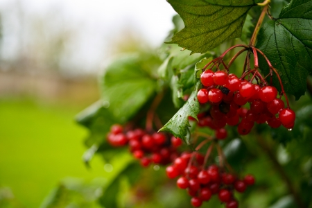 etude: Water drops on a branch of a currant