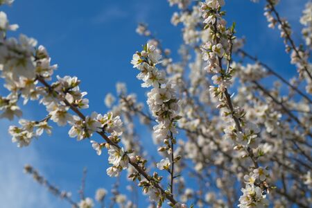 beautiful almond tree flowers on a branch against a blue sky. the onset of spring