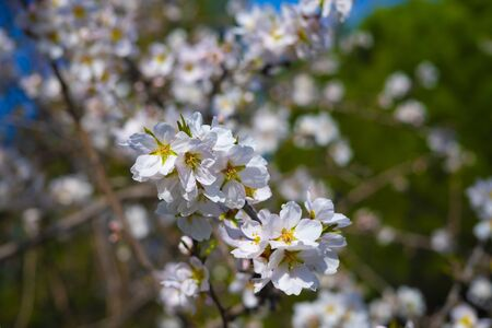 almond tree flower, close up. almond blossom in early spring. 写真素材