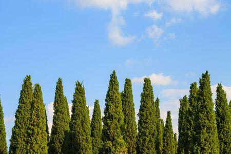 pine trees: pine trees and blue sky