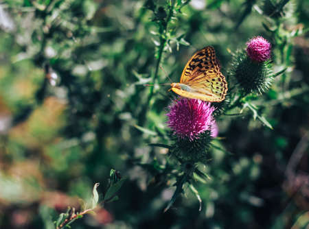 Thistle flower with Pallass Fritillary Argynnis laodice butterfly Stock Photo