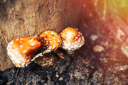 red mushroom with the Latin name Amanita muscaria grew up in the forest under a tree