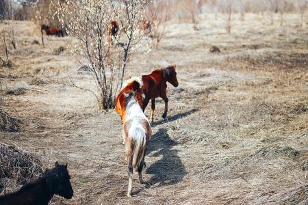 dos caballos jóvenes libres corren en el campo de primavera, rojo y negro.