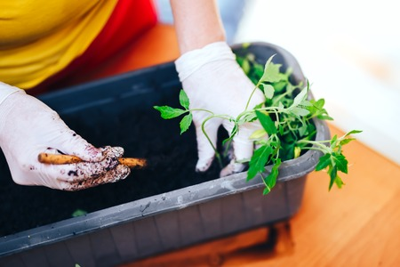 Woman's hands in white gloves plant seedlings of tomato in plastic black pot at home. Transplanting seedlings in a pot.