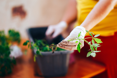 tomatoes seedlings at hands in gloves keep sprout is going o plant into plastic pot, transportayion before olant in ground outdoor. selected focus