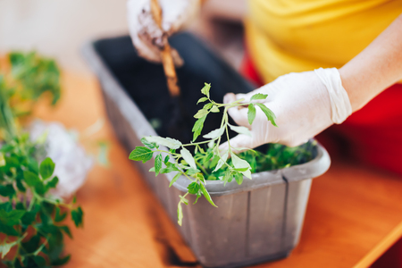 Woman's hands in white gloves plant seedlings of tomato in plastic black pot at home. Transplanting seedlings in a pot. Stock Photo