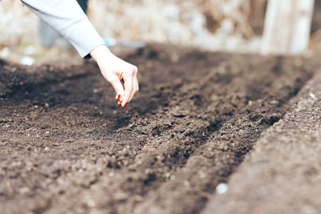 Woman hand putting seed into soil in the spring. Sow vegetable seeds. Woman's hand makes small seeds in the black earth.