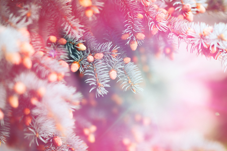 Ultra violet purple natural textured background in Color of the Year 2018. Blue spruce Christmas tree branches. duotoned, abstract toned photo.
