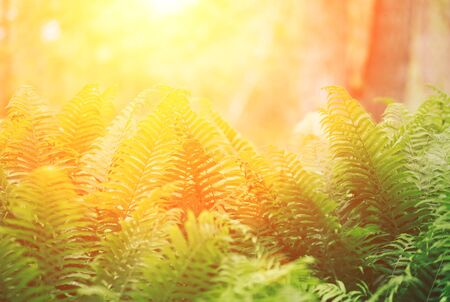 Beautyful ferns leaves green foliage natural floral fern background in sunlight. Stockfoto