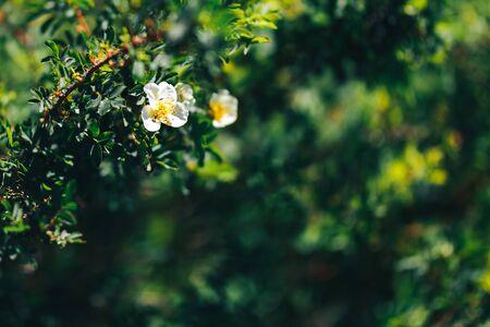 white rosehip flowers in the garden. dog-rose nature. 免版税图像