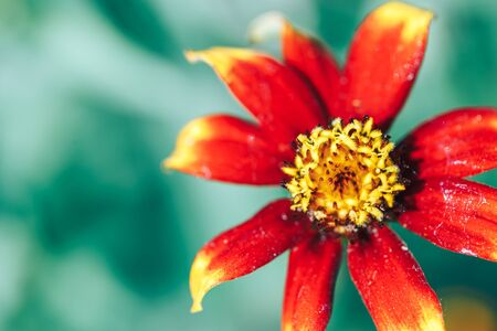 macro beautiful flower background wallpaper orange zinia macro selected focus.