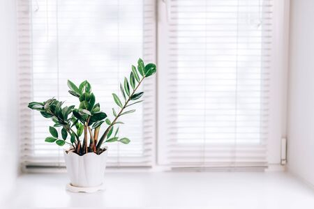 A small green plant pot zamioculcas displayed in the white window. Modern interior.