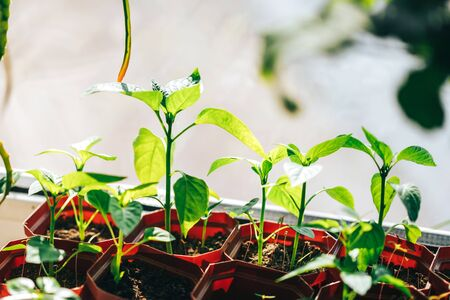 Young seedlings under the sun in pots, spring time, how to transplant seedlings, agriculture, how to grow potted plants at home