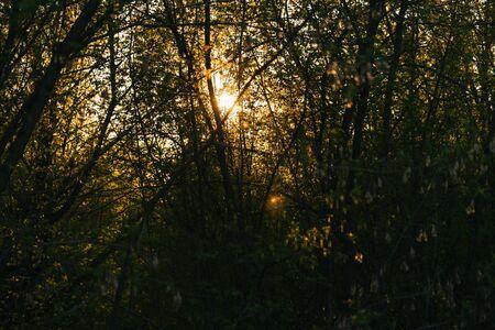 Sunlight through a dense grove of forest at sunset Standard-Bild