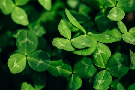 Macro shot of clover bushes, beautiful three-leaf clover. Green nature background