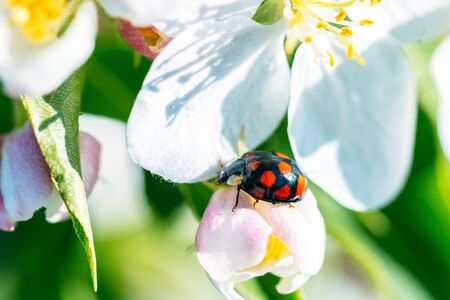 Macro shot of a beautiful ladybugs on a white flower under the open sky on a sunny day