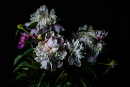 Beautiful delicate peonies on a dark background, blooming flowers, March 8, mother's day, birthday present.