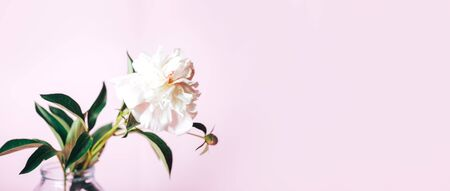 Beautiful delicate peony on a pink background, flower bloom, March 8, mother's day, birthday present.