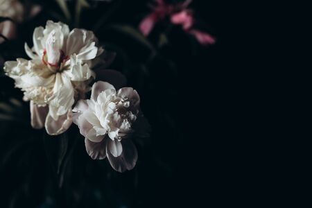 Beautiful delicate peonies on a dark background, blooming flowers, March 8, mother's day, birthday present. Banque d'images - 149999794