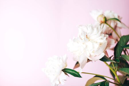 Beautiful delicate peonies on a pink background, blooming flowers, March 8, mother's day, birthday present.