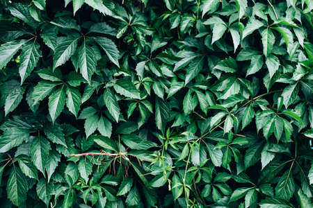 Big green bush with large leaves, beautiful green bush background. Banque d'images