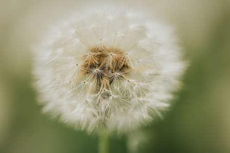 Beautiful fluffy dandelion in the open air on a blurred background, flowering dandelion. Foto de archivo