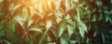 Big green bush with large leaves, beautiful green bush background. blurred photo Banque d'images