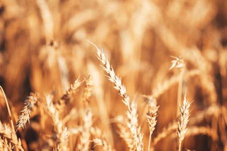 Beautiful wheat field in the countryside, late summer season.